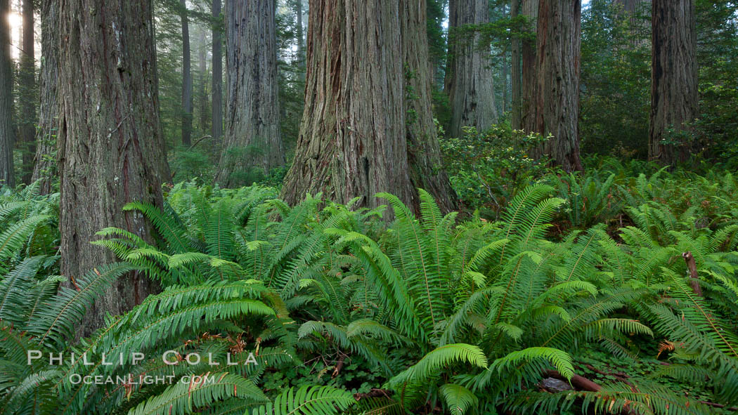 Coast Redwood, Sequoia sempervirens