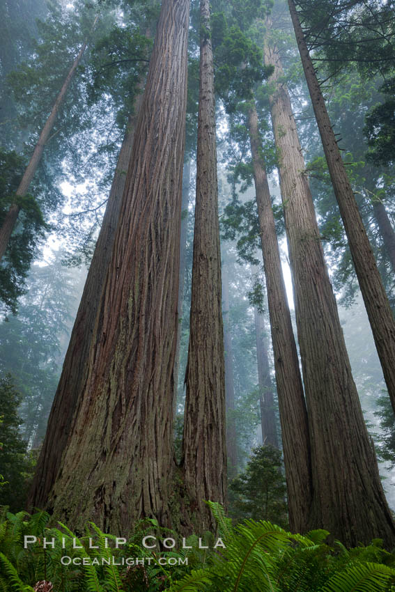 Giant redwood, Lady Bird Johnson Grove, Redwood National Park.  The coastal redwood, or simply &#39;redwood&#39;, is the tallest tree on Earth, reaching a height of 379&#39; and living 3500 years or more.  It is native to coastal California and the southwestern corner of Oregon within the United States, but most concentrated in Redwood National and State Parks in Northern California, found close to the coast where moisture and soil conditions can support its unique size and growth requirements, Sequoia sempervirens