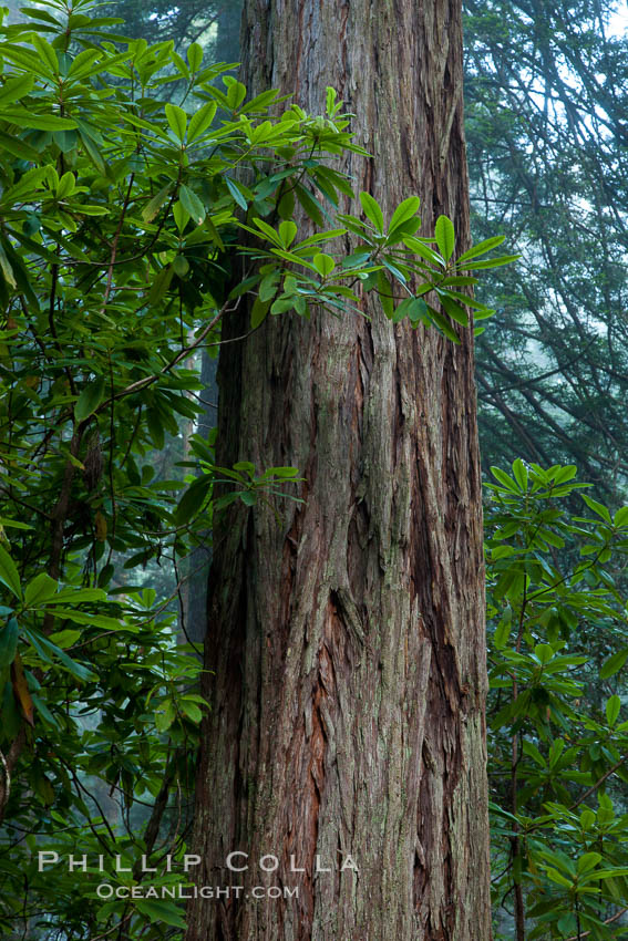 Coast redwood, Sequoia sempervirens, Redwood National Park