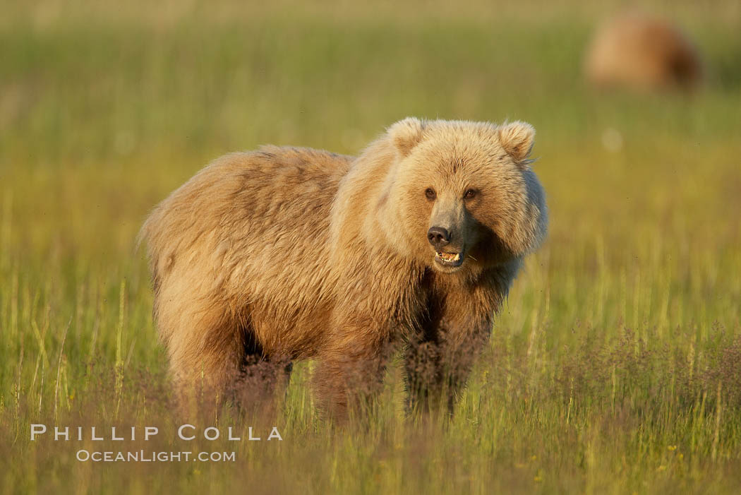Juvenile coastal brown bear (grizzly bear) in sedge grass near Johnson River. Lake Clark National Park, Alaska, USA, Ursus arctos, natural history stock photograph, photo id 19195