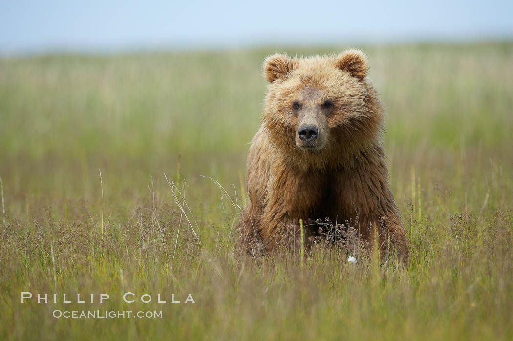 Coastal brown bear cub, one and a half years old, near Johnson River.  This cub will remain with its mother for about another six months, and will be on its own next year. Lake Clark National Park, Alaska, USA, Ursus arctos, natural history stock photograph, photo id 19199