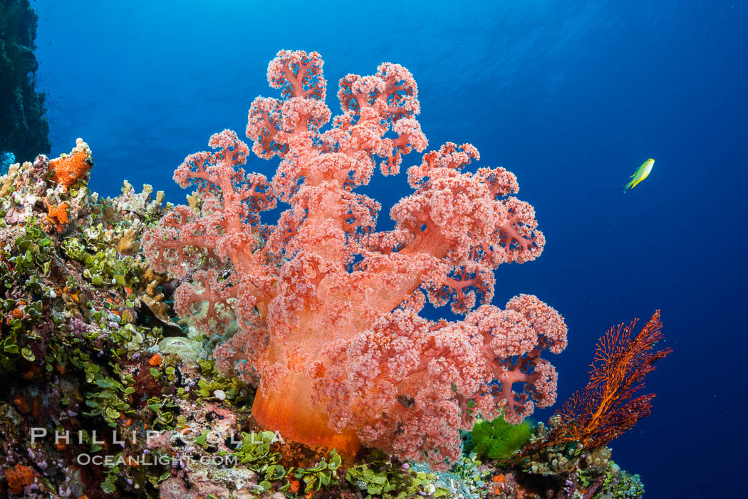 Spectacularly colorful dendronephthya soft corals on South Pacific reef, reaching out into strong ocean currents to capture passing planktonic food, Fiji. Vatu I Ra Passage, Bligh Waters, Viti Levu  Island, Dendronephthya, natural history stock photograph, photo id 31366