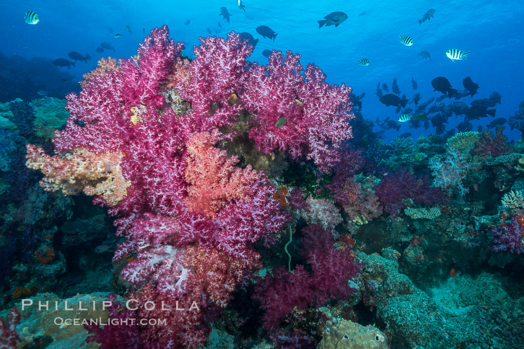 Spectacularly colorful dendronephthya soft corals on South Pacific reef, reaching out into strong ocean currents to capture passing planktonic food, Fiji. Nigali Passage, Gau Island, Lomaiviti Archipelago, Dendronephthya, natural history stock photograph, photo id 31528
