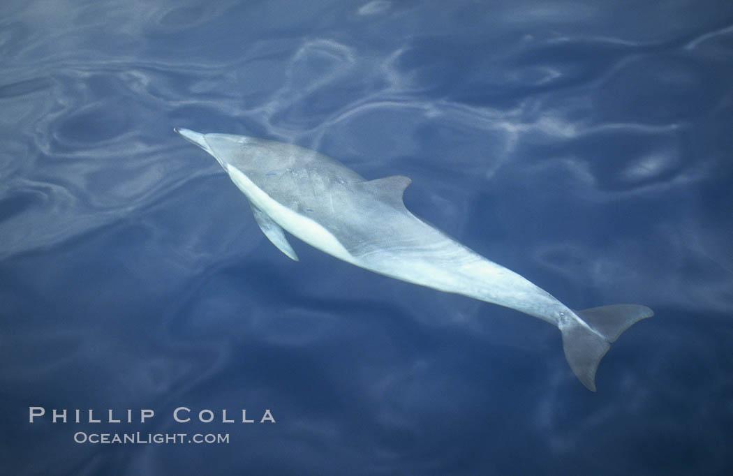 Common dolphin, Delphinus delphis, San Diego, California