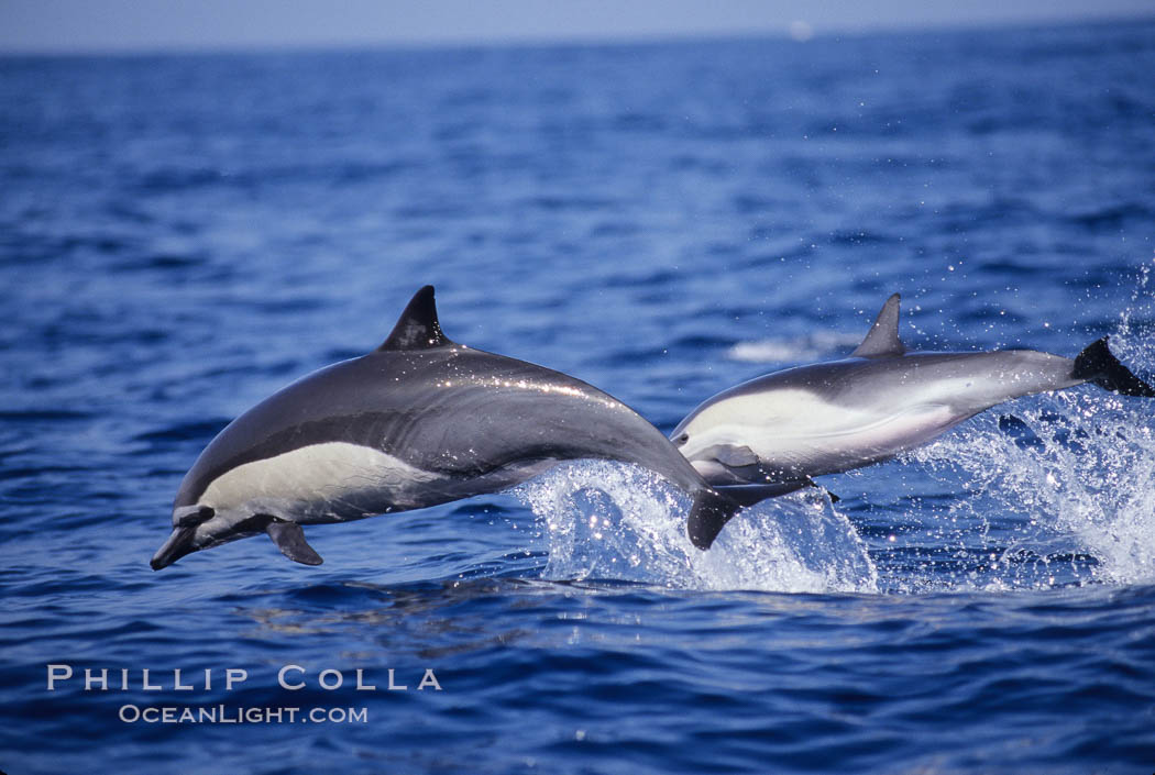 Common dolphin. San Diego, California, USA, Delphinus delphis, natural history stock photograph, photo id 01017