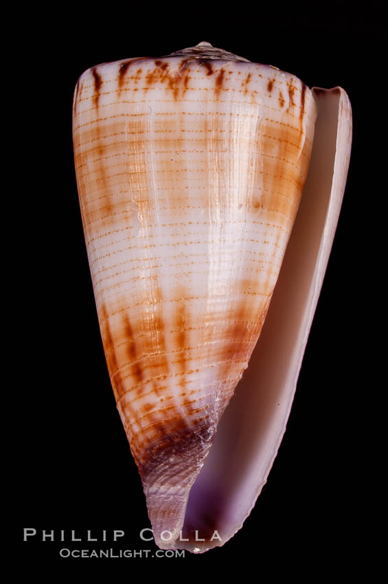 Calf Cone, Conus vitulinus, natural history stock photograph, photo id 07970