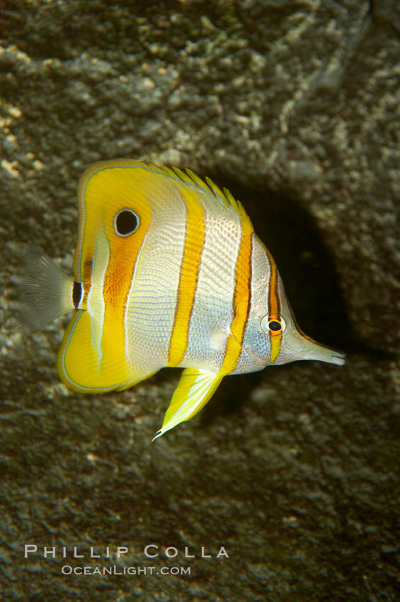 Copperband butterflyfish., Chelmon rostratus, natural history stock photograph, photo id 10995