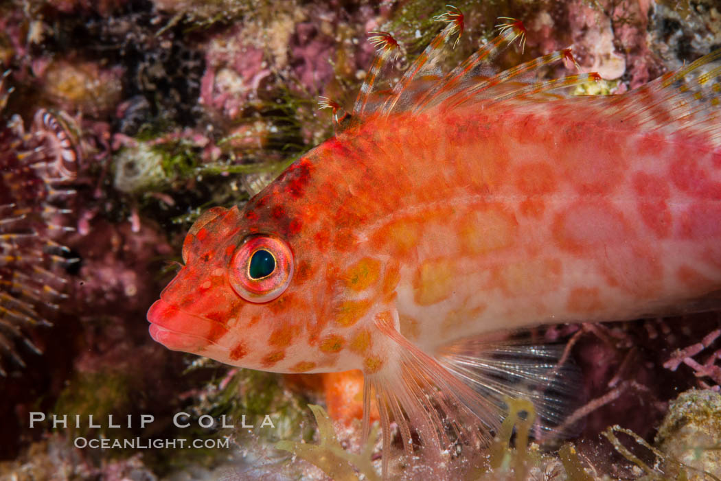 Coral Hawkfish, Sea of Cortez, Baja California. Isla San Diego, Mexico, natural history stock photograph, photo id 33557