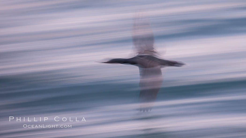 Cormorant in flight, wings blurred by time exposure, Phalacrocorax auritus, La Jolla, California