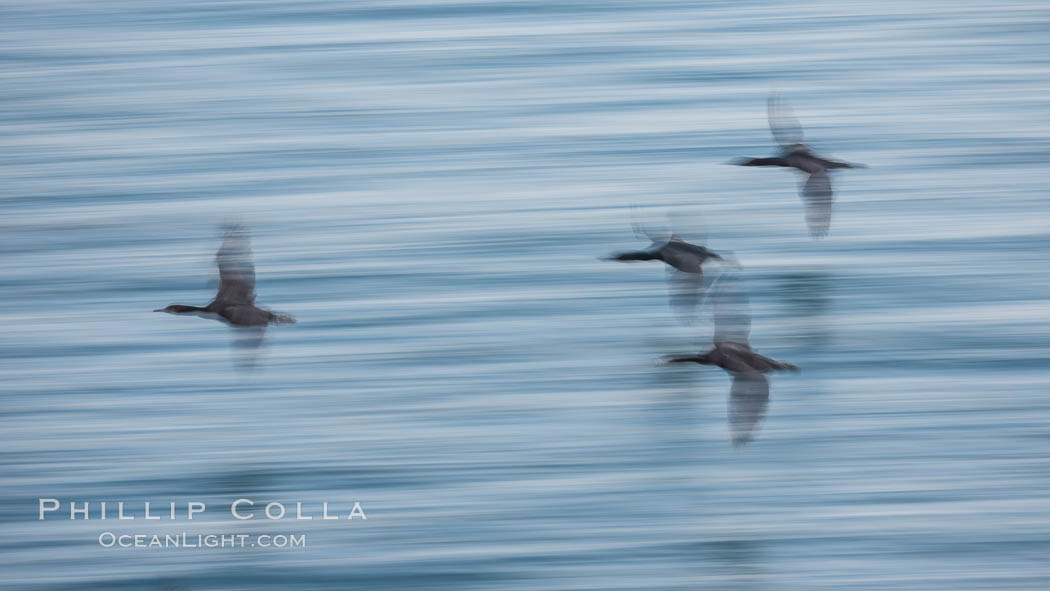 Cormorants in flight, wings blurred by time exposure, Phalacrocorax auritus, La Jolla, California