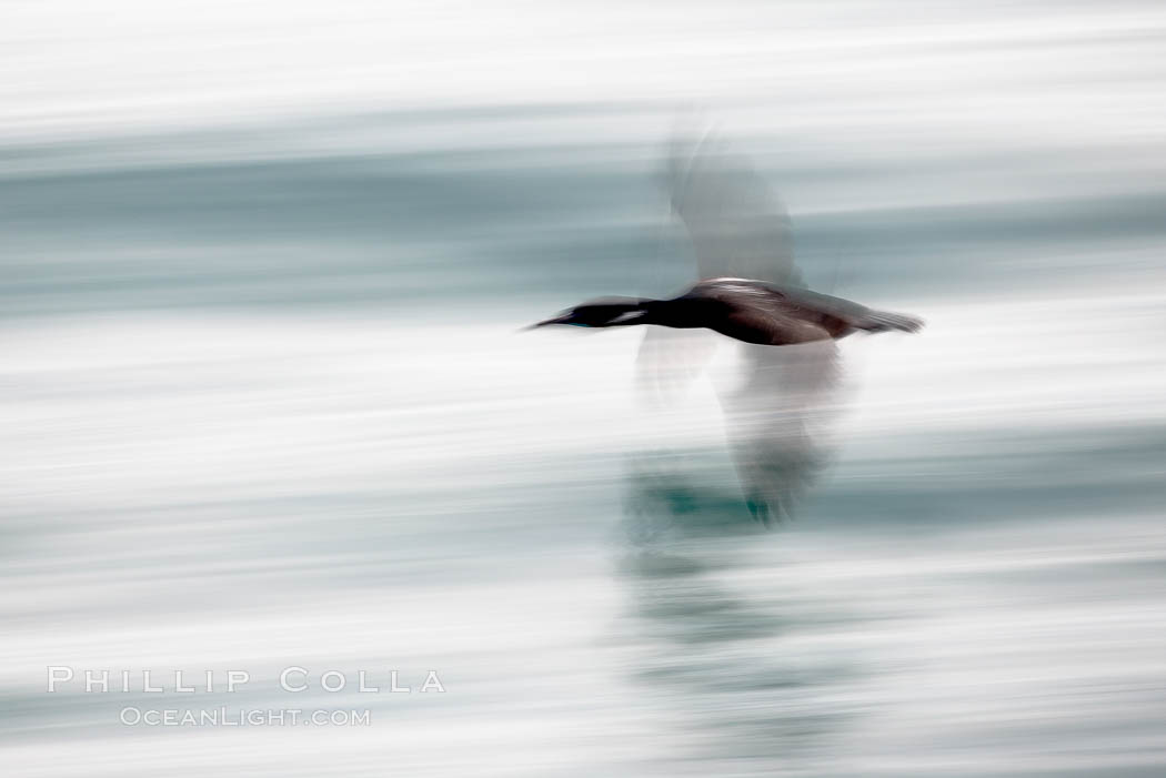 Cormorant in flight, blurred as it speeds over the ocean., Phalacrocorax sp.,  Copyright Phillip Colla, image #18462, all rights reserved worldwide.