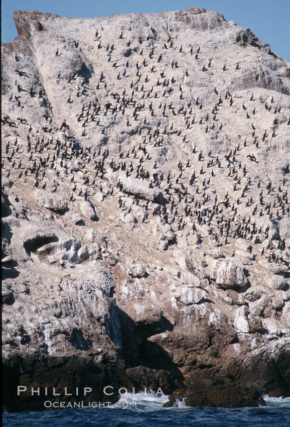 Cormorant colony, Coronado Islands, Mexico. Coronado Islands (Islas Coronado), Coronado Islands, Baja California, Mexico, Phalacrocorax, natural history stock photograph, photo id 05787