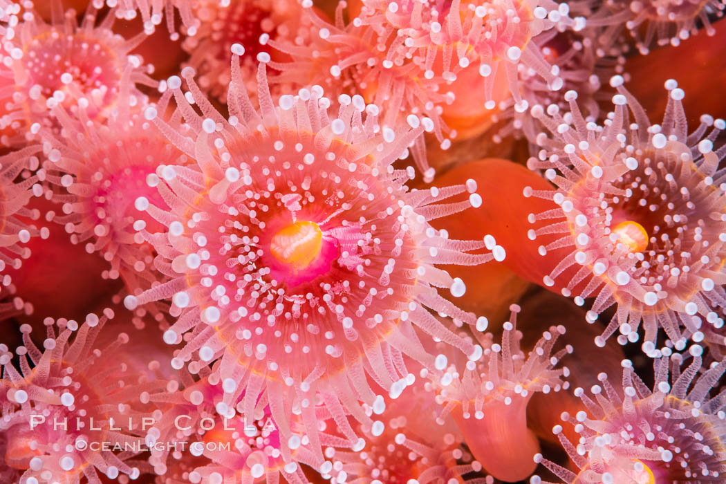 Corynactis anemone polyp, a corallimorph, extends its arms into passing ocean currents to catch food., natural history stock photograph, photo id 35076