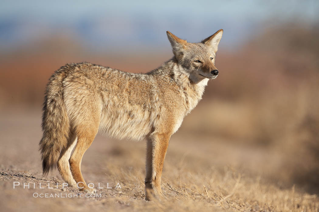 Coyote, pausing to look for prey as it passes through Bosque del Apache National Wildlife Refuge., Canis latrans,  Copyright Phillip Colla, image #21803, all rights reserved worldwide.