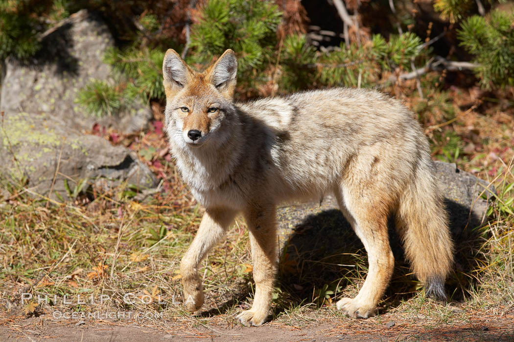 Coyote., Canis latrans,  Copyright Phillip Colla, image #19634, all rights reserved worldwide.