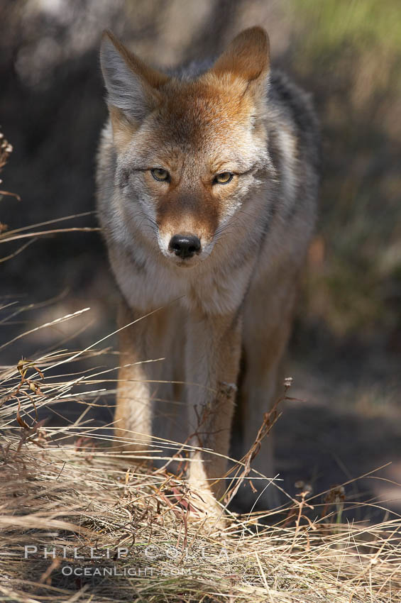 Coyote. Yellowstone National Park, Wyoming, USA, Canis latrans, natural history stock photograph, photo id 19666