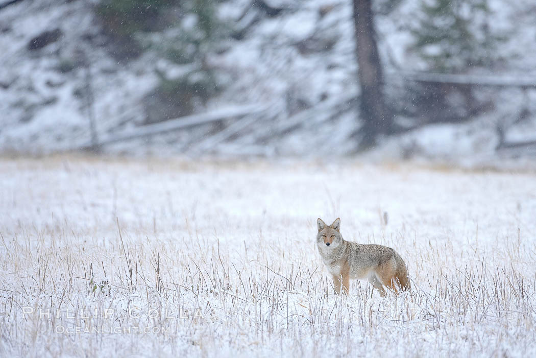 Coyote in snow covered field along the Madison River, Canis latrans, Yellowstone National Park, Wyoming