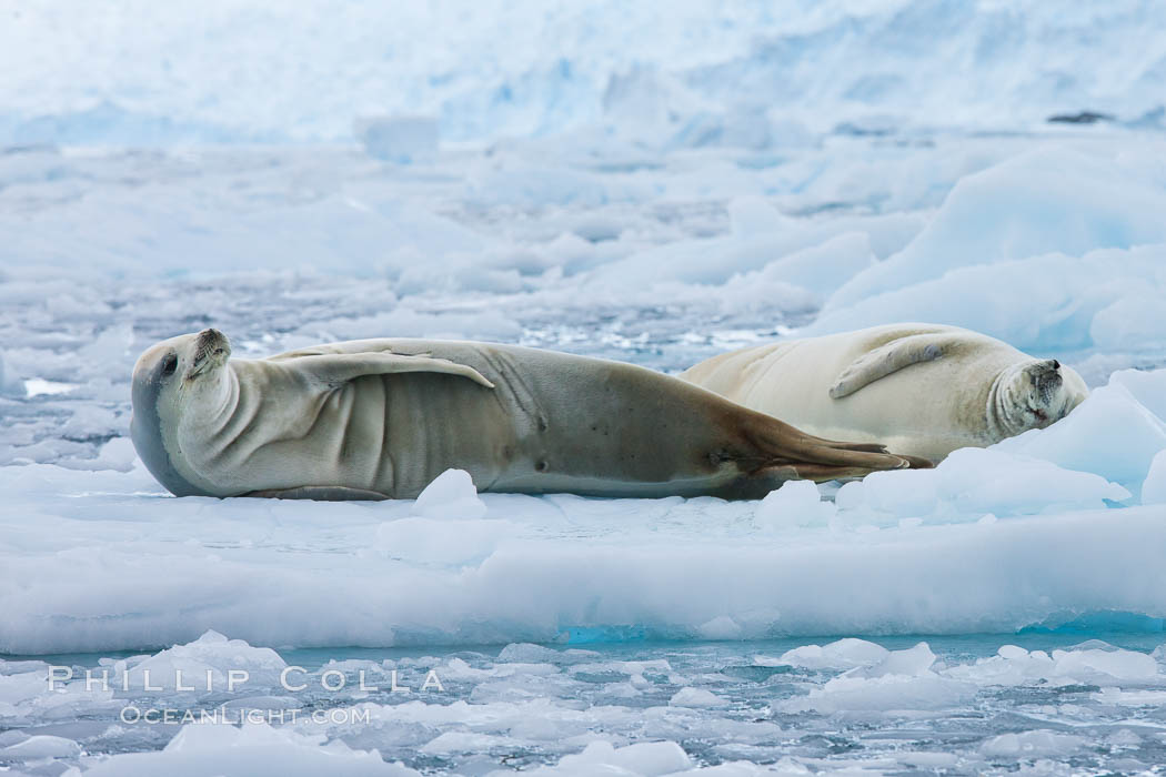 Crabeater seal resting on pack ice.  Crabeater seals reach 2m and 200kg in size, with females being slightly larger than males.  Crabeaters are the most abundant species of seal in the world, with as many as 75 million individuals.  Despite its name, 80% the crabeater seal's diet consists of Antarctic krill.  They have specially adapted teeth to strain the small krill from the water. Cierva Cove, Antarctic Peninsula, Antarctica, Lobodon carcinophagus, natural history stock photograph, photo id 25530