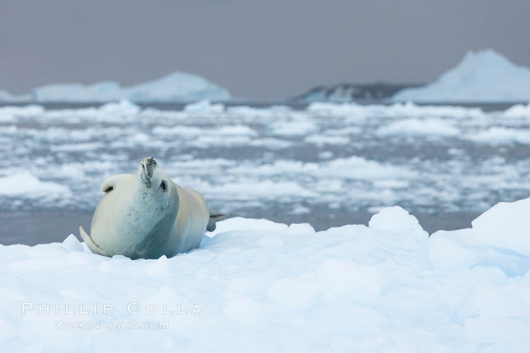 Crabeater seal resting on pack ice.  Crabeater seals reach 2m and 200kg in size, with females being slightly larger than males.  Crabeaters are the most abundant species of seal in the world, with as many as 75 million individuals.  Despite its name, 80% the crabeater seal's diet consists of Antarctic krill.  They have specially adapted teeth to strain the small krill from the water. Cierva Cove, Antarctic Peninsula, Antarctica, Lobodon carcinophagus, natural history stock photograph, photo id 25581