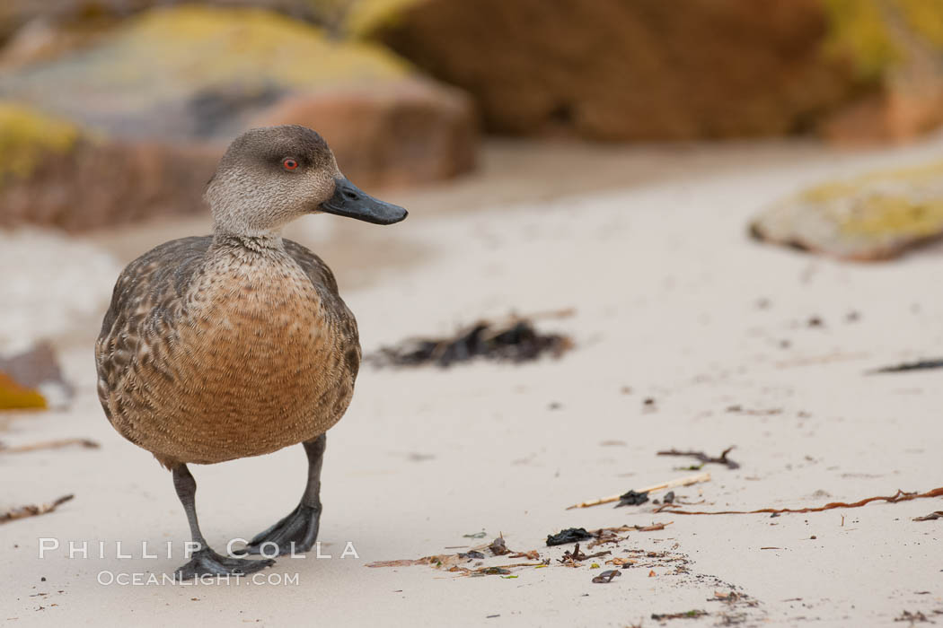 Patagonian crested duck, on sand beach.  The crested dusk inhabits coastal regions where it forages for invertebrates and marine algae.  The male and female are similar in appearance. New Island, Falkland Islands, United Kingdom, Lophonetta specularioides, natural history stock photograph, photo id 23764