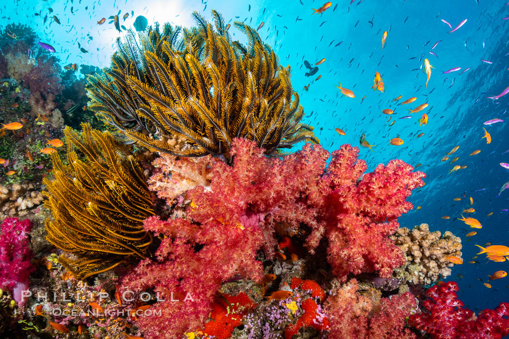 Crinoid (feather star) extends its tentacles into ocean currents, on pristine south pacific coral reef, Fiji. Namena Marine Reserve, Namena Island, Dendronephthya, Crinoidea, natural history stock photograph, photo id 34840