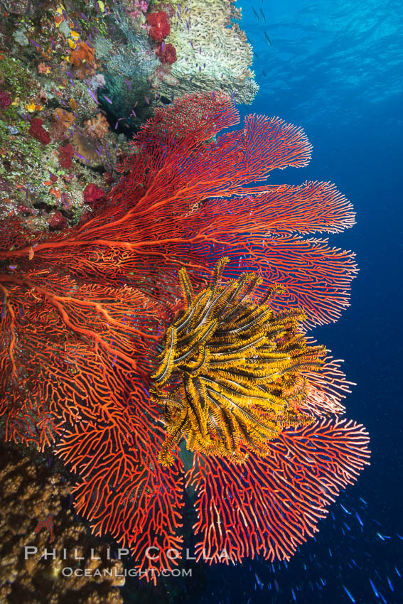 Crinoid clinging to gorgonian sea fan, Fiji, Crinoidea, Gorgonacea, Namena Marine Reserve, Namena Island