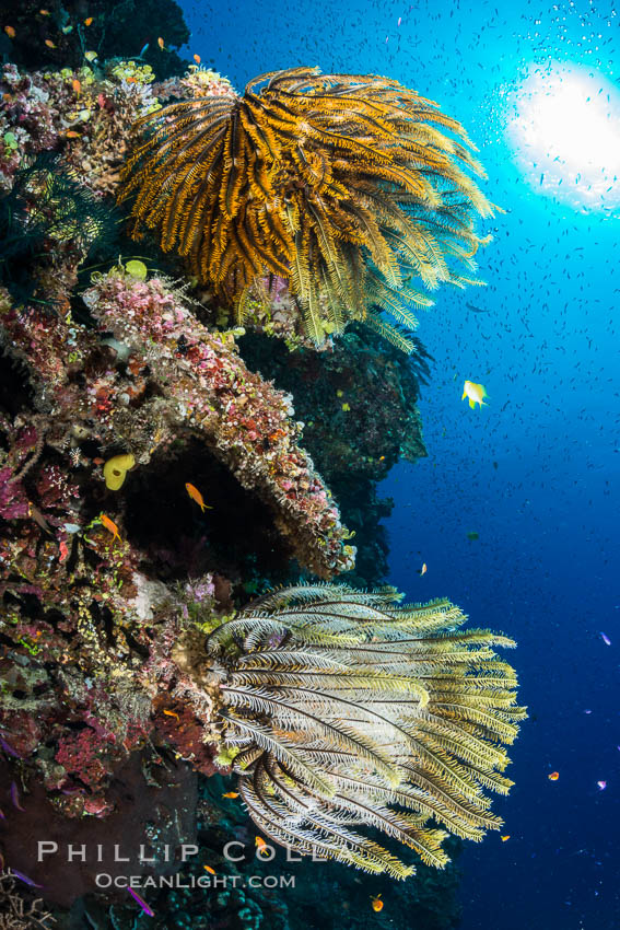 Crinoids (feather stars) on hard corals, with anthias fish schooling in ocean currents, Fiji. Wakaya Island, Lomaiviti Archipelago, Crinoidea, Pseudanthias, natural history stock photograph, photo id 31545