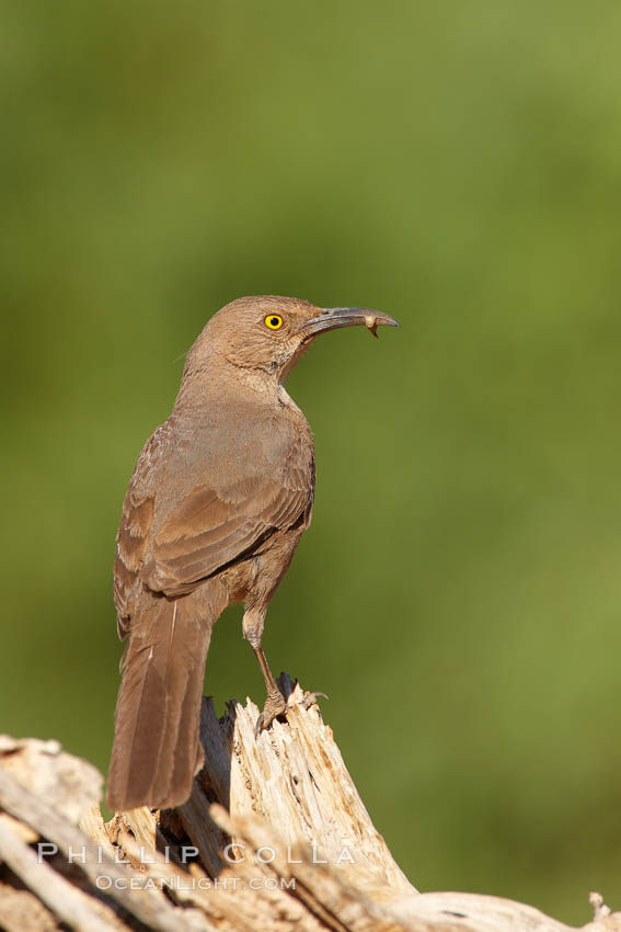 Curve-billed thrasher. Amado, Arizona, USA, Toxostoma curvirostre, natural history stock photograph, photo id 22921