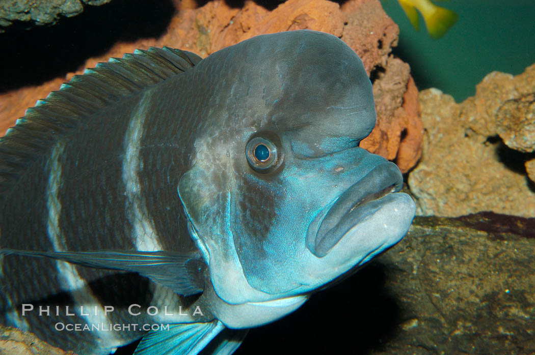 Bumphead Cichlid., Cyphotilapia frontosa, natural history stock photograph, photo id 09289
