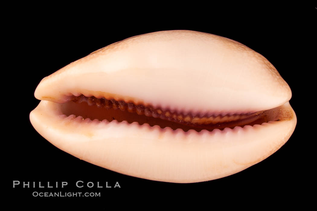 Carnelian Cowrie, Cypraea carneola crassa, natural history stock photograph, photo id 08002