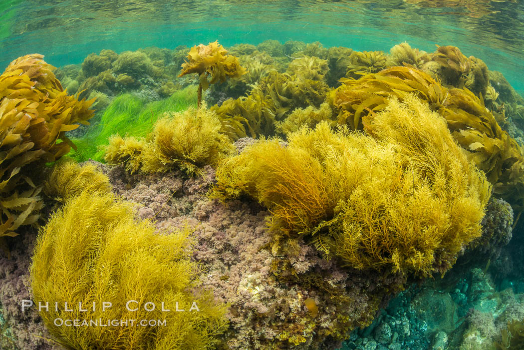 Stephanocystis dioica (lighter yellow), southern sea palm (darker yellow) and surfgrass (green), shallow water, San Clemente Island, Eisenia arborea, Phyllospadix, Stephanocystis dioica