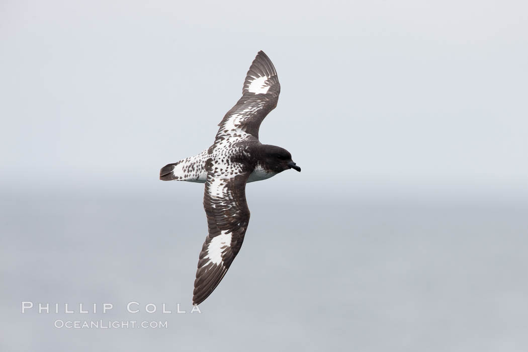 Pintado petrel in flight. Scotia Sea, Southern Ocean, Daption capense, natural history stock photograph, photo id 24707