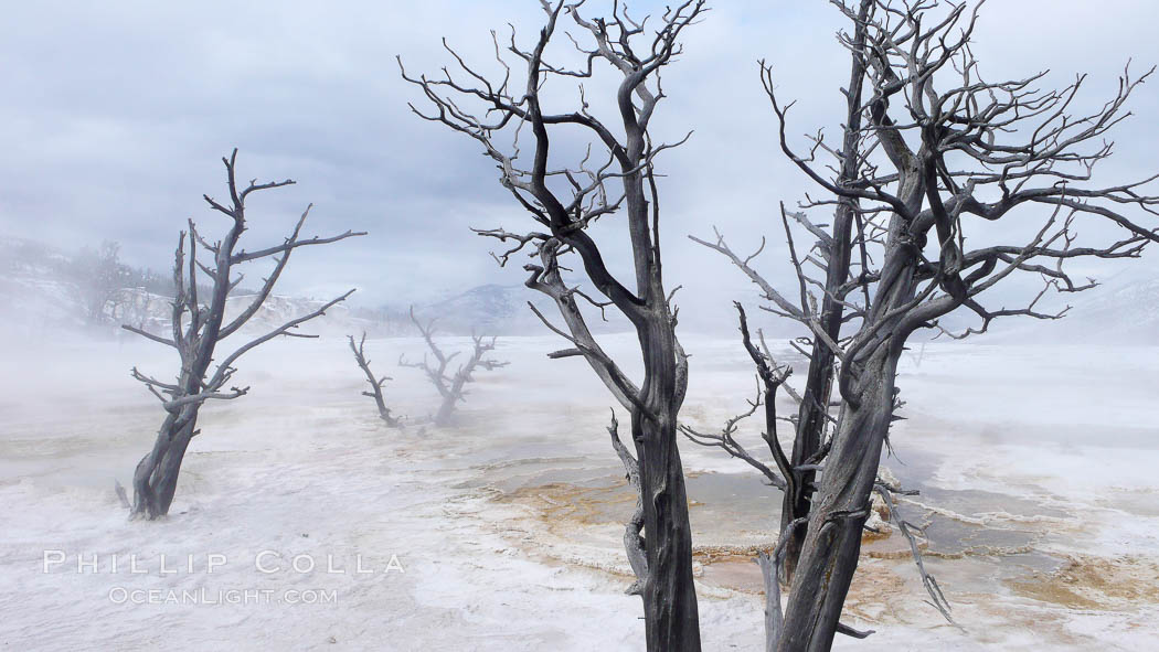 Dead trees embedded in calcium carbonate deposits in the travertine terraces of Mammoth Hot Springs, near Minerva terrace .  Over two tons of calcium carbonate (in solution) is deposited each day on the terraces, gradually killing any vegetation that had managed to be growing, Yellowstone National Park, Wyoming