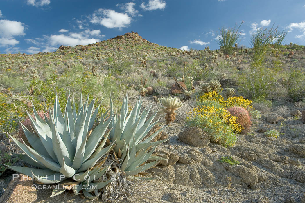 Desert agave, brittlebush and various cacti and wildflowers color the sides of Glorietta Canyon.  Heavy winter rains led to a historic springtime bloom in 2005, carpeting the entire desert in vegetation and color for months. Anza-Borrego Desert State Park, Borrego Springs, California, USA, Agave deserti, Encelia farinosa, natural history stock photograph, photo id 10900