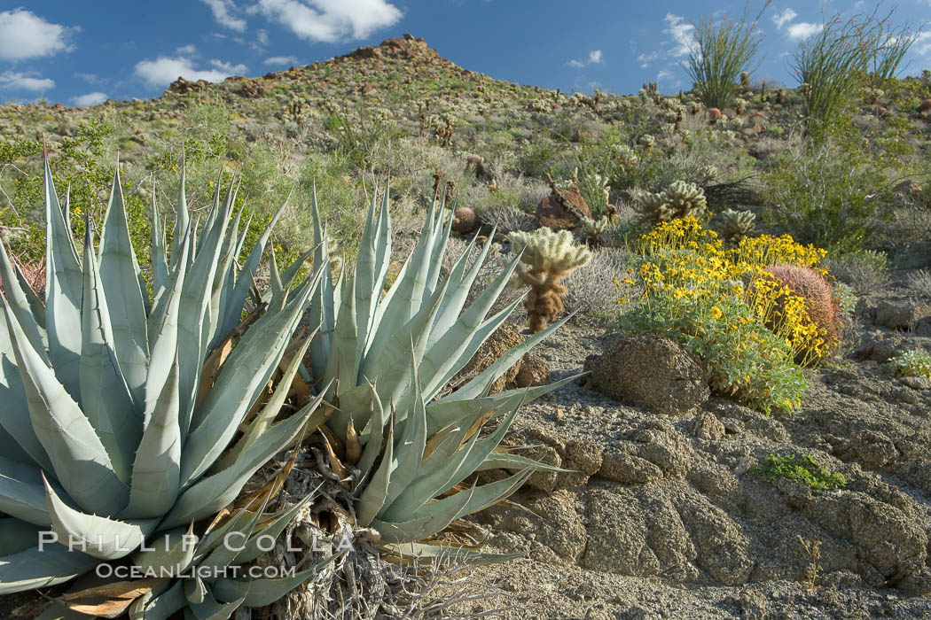 Desert agave, brittlebush and various cacti and wildflowers color the sides of Glorietta Canyon.  Heavy winter rains led to a historic springtime bloom in 2005, carpeting the entire desert in vegetation and color for months. Anza-Borrego Desert State Park, Anza Borrego, California, USA, Agave deserti, Encelia farinosa, natural history stock photograph, photo id 10901