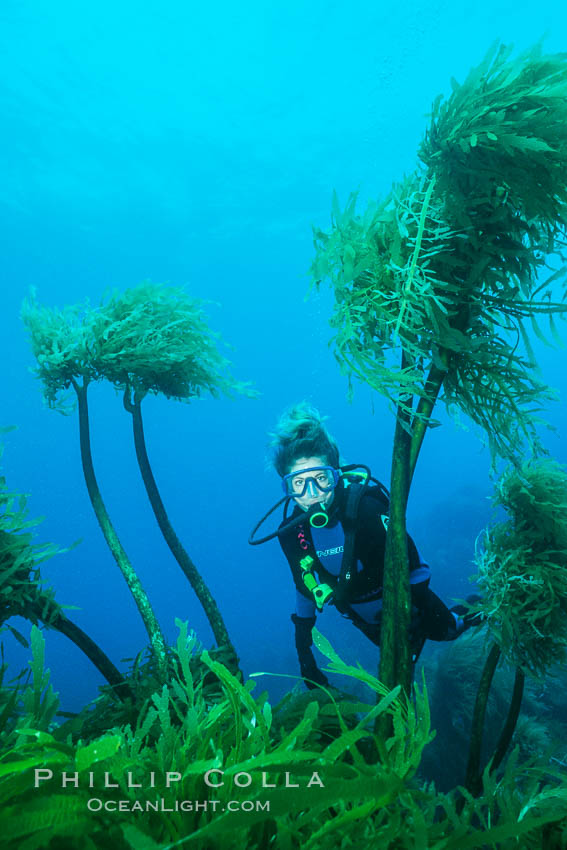 Palm kelp. Southern sea palm, Eisenia arborea, Guadalupe Island (Isla Guadalupe)
