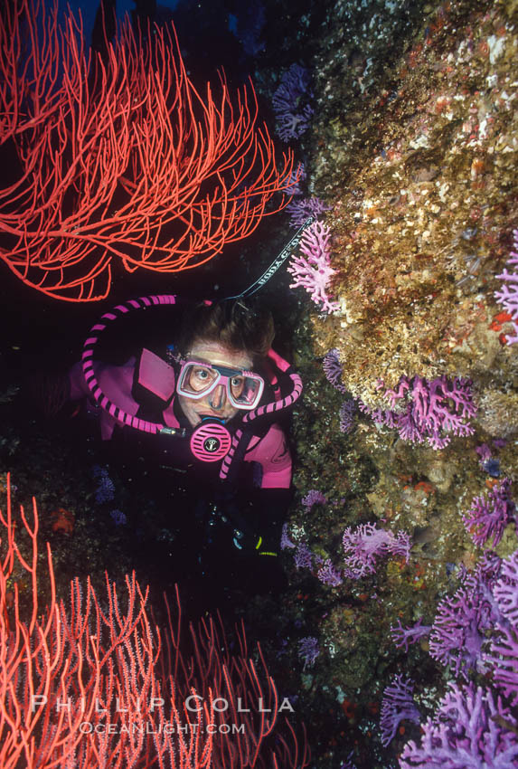 Diver, reef and gorgonians. San Clemente Island, California, USA, natural history stock photograph, photo id 02983