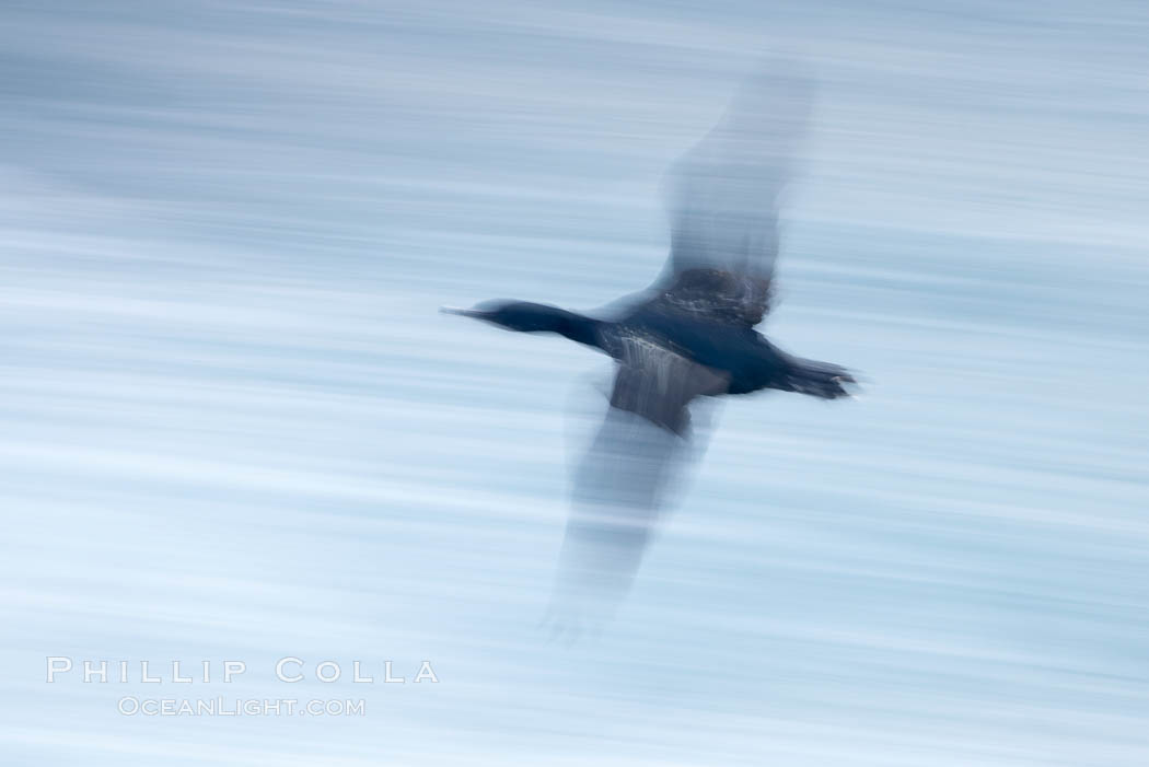Double-crested cormorants in flight at sunrise, long exposure produces a blurred motion. La Jolla, California, USA, Phalacrocorax auritus, natural history stock photograph, photo id 20460