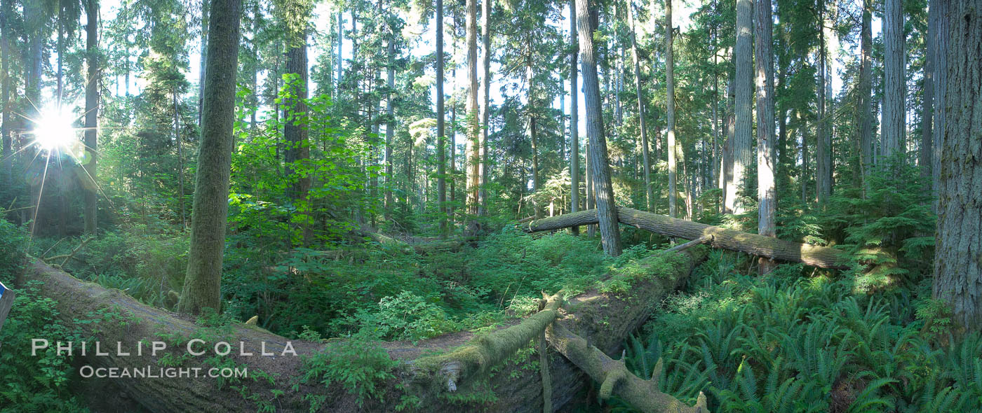 Cathedral Grove panorama, showing tall old-growth Douglas Fir trees. Cathedral Grove is home to huge, ancient, old-growth Douglas fir trees.  About 300 years ago a fire killed most of the trees in this grove, but a small number of trees survived and were the originators of what is now Cathedral Grove.  Western redcedar trees grow in adundance in the understory below the taller Douglas fir trees. MacMillan Provincial Park, Vancouver Island, British Columbia, Canada, Pseudotsuga menziesii, natural history stock photograph, photo id 21023