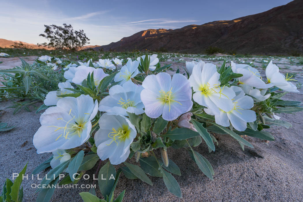 Dune Evening Primrose bloom in Anza Borrego Desert State Park, Anza-Borrego Desert State Park, Borrego Springs, California