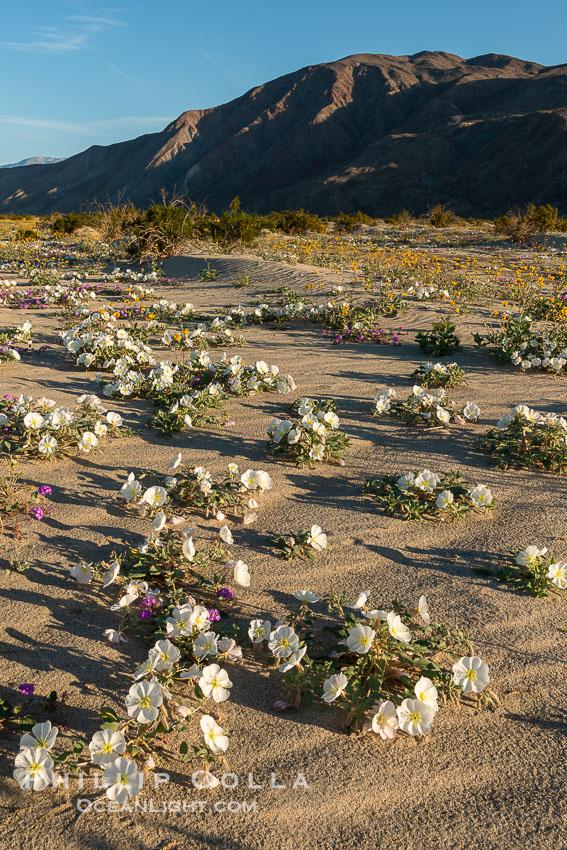 Dune Evening Primrose Wildflowers, Anza-Borrego Desert State Park. Anza-Borrego Desert State Park, Borrego Springs, California, USA, Oenothera deltoides, natural history stock photograph, photo id 30545