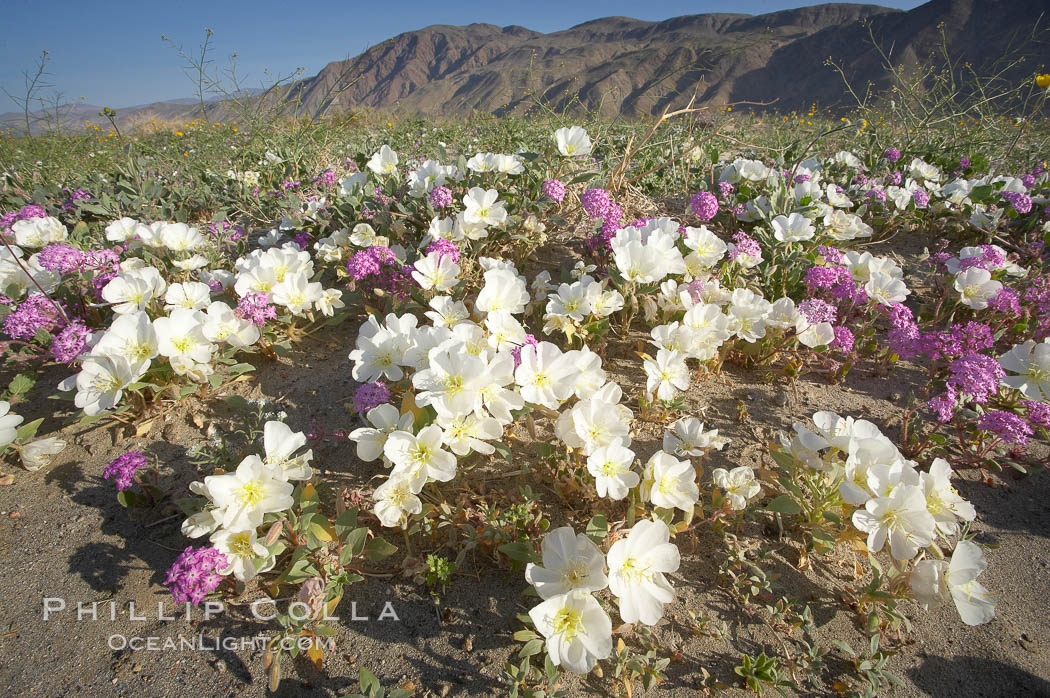 Dune primrose (white) and sand verbena (purple) bloom in spring in Anza Borrego Desert State Park, mixing in a rich display of desert color.  Anza Borrego Desert State Park., Oenothera deltoides, Abronia villosa,  Copyright Phillip Colla, image #20466, all rights reserved worldwide.
