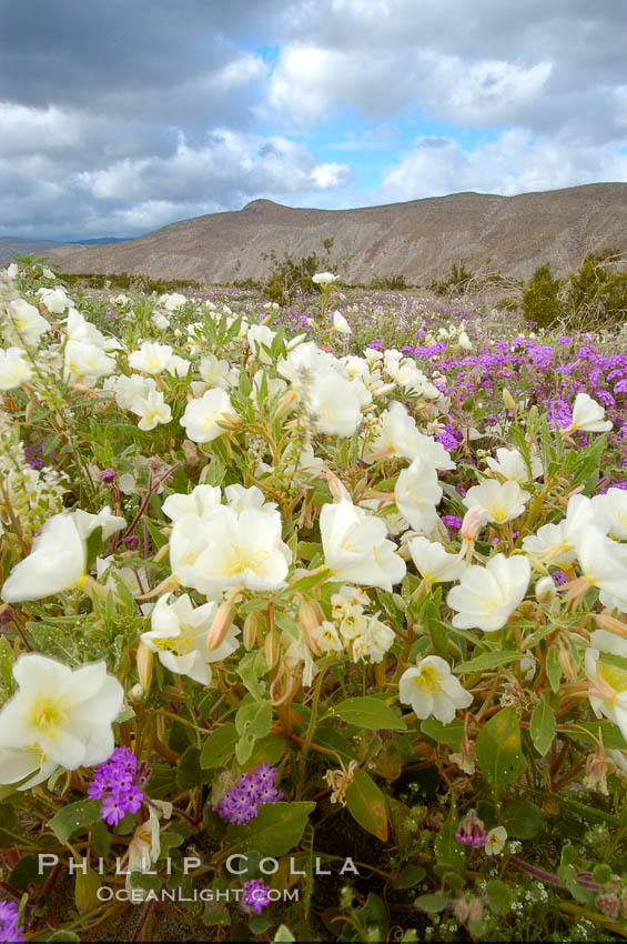 Dune primrose blooms in spring following winter rains.  Dune primrose is a common ephemeral wildflower on the Colorado Desert, growing on dunes.  Its blooms open in the evening and last through midmorning.  Anza Borrego Desert State Park., Oenothera deltoides,  Copyright Phillip Colla, image #10458, all rights reserved worldwide.