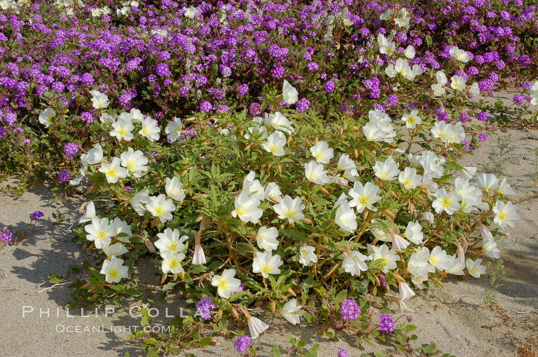 Dune primrose (white) and sand verbena (purple) bloom in spring in Anza Borrego Desert State Park, mixing in a rich display of desert color.  Anza Borrego Desert State Park. Anza-Borrego Desert State Park, Anza Borrego, California, USA, Oenothera deltoides, Abronia villosa, natural history stock photograph, photo id 10484