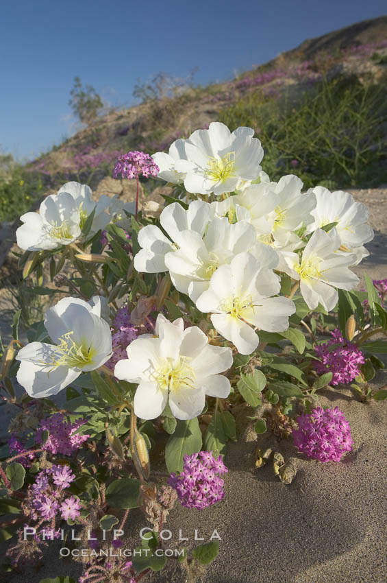 Dune primrose (white) and sand verbena (purple) bloom in spring in Anza Borrego Desert State Park, mixing in a rich display of desert color.  Anza Borrego Desert State Park. Anza-Borrego Desert State Park, Anza Borrego, California, USA, Oenothera deltoides, Abronia villosa, natural history stock photograph, photo id 20464