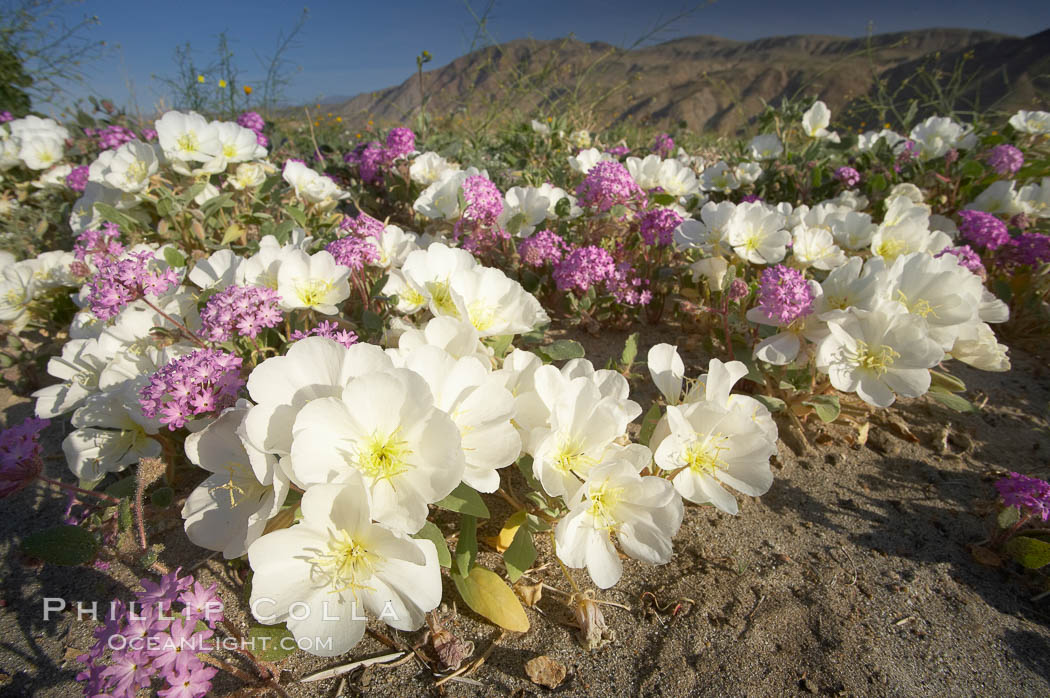 Dune primrose (white) and sand verbena (purple) bloom in spring in Anza Borrego Desert State Park, mixing in a rich display of desert color.  Anza Borrego Desert State Park. Anza-Borrego Desert State Park, Anza Borrego, California, USA, Oenothera deltoides, Abronia villosa, natural history stock photograph, photo id 20468