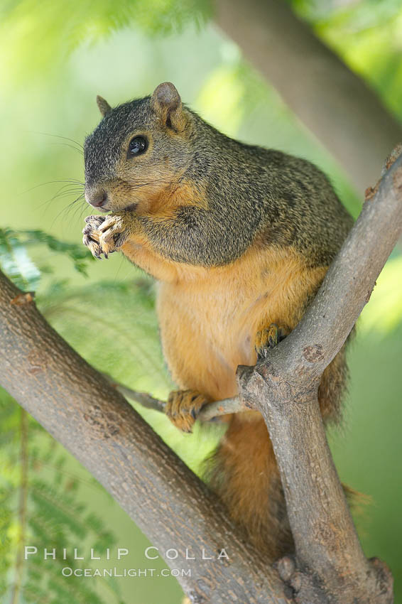 eastern fox squirrel sciurus - photo #26