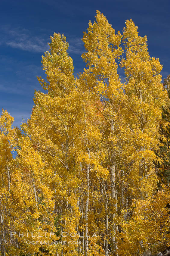 Aspen trees turn yellow and orange in early October, South Fork of Bishop Creek Canyon., Populus tremuloides,  Copyright Phillip Colla, image #17503, all rights reserved worldwide.