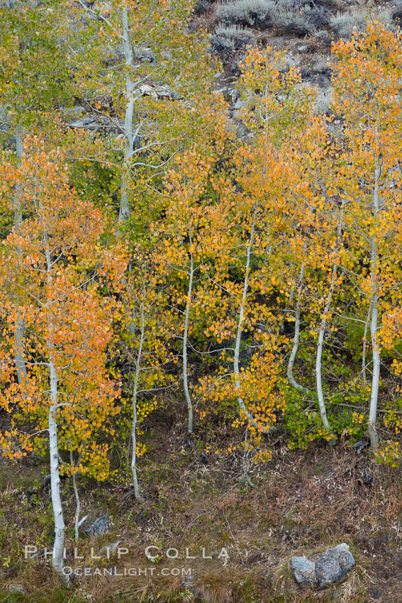 Aspen trees in autumn, fall colors, eastern Sierra Nevada, Populus tremuloides, Bishop Creek Canyon Sierra Nevada Mountains