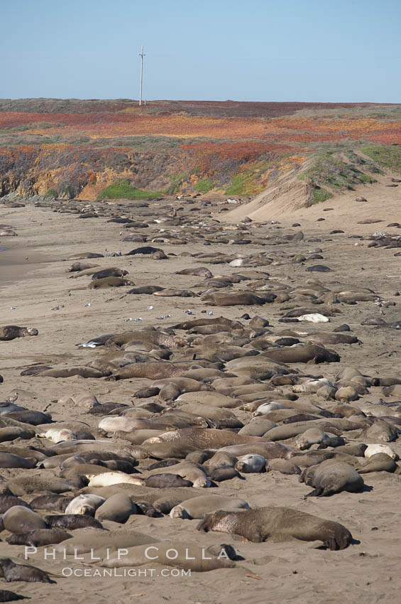 Elephant seals crowd a sand beach at the Piedras Blancas rookery near San Simeon.,  Copyright Phillip Colla, image #20358, all rights reserved worldwide.